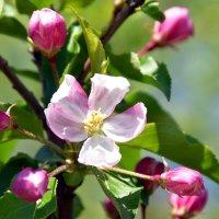 яблони цвет :: Валерия Шамсутдинова