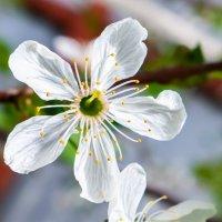 Цветение яблони :: Cтанислав Анатольевич Курбатов