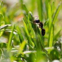 Муравей в траве :: Александр Синдерёв
