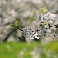 Вишни цвет :: ninell nikitina