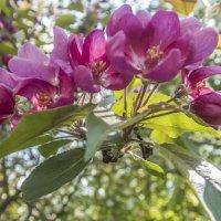 яблоня цветет :: Лариса Батурова