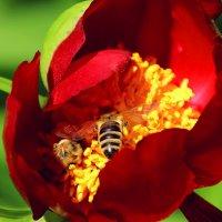 Пчелиное раздолье :: Alexander Andronik