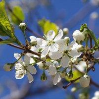 Про май цветущий.. :: Андрей Заломленков