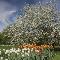 Один раз в год сады цветут. :: Маргарита ( Марта ) Дрожжина