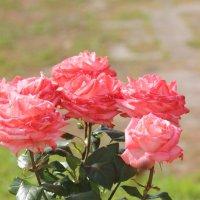 розы :: Димончик