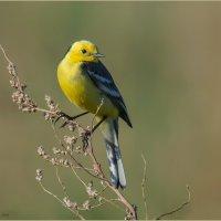 Малая желтоголовая трясогузка :: Pepsovich