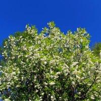 Черёмуховый лес :: Милагрос Экспосито
