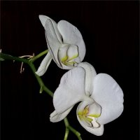 Орхидеи :: Liudmila LLF