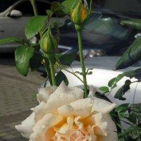 Роза :: Валерьян Запорожченко