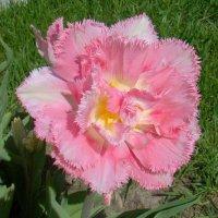 Махровый бахромчатый тюльпан :: Татьяна Георгиевна