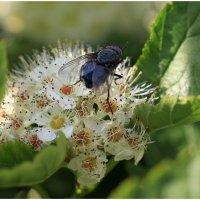 Синяя муха на спирее :: ZNatasha -