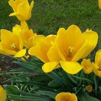 Жёлтые тюльпаны под моим окном )) :: Наталья Владимировна