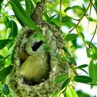 Ремез строит гнездо. :: vodonos241