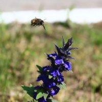 пчела IMG_6197 :: Олег Петрушин