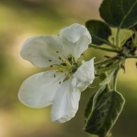 цветок яблони :: оксана