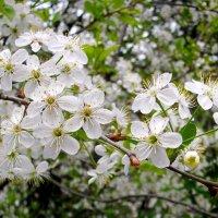 Только раз в году сады цветут... :: Лия ☼