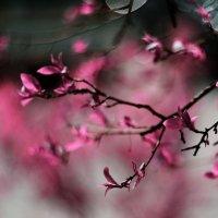 Розовая весна :: Наталья Новикова