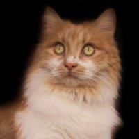 Кошка Алиса.фото-2. :: Nata