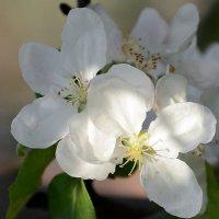 Apple blossom :: Олег Шендерюк