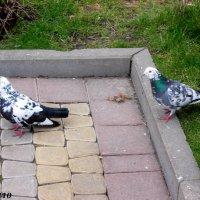Городские голуби :: Нина Бутко