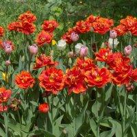 Радость цветущих тюльпанов :: Татьяна Георгиевна