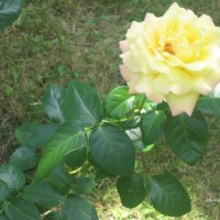 Жёлтая роза :: Алексей Ефимов