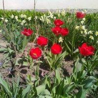 Тюльпаны при Казачьей церкви. (Май, 2018 года, СПб). :: Светлана Калмыкова