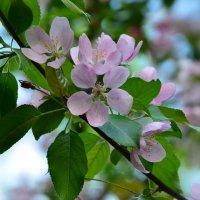Цветущих яблонь волшебство :: Ольга Русанова (olg-rusanowa2010)