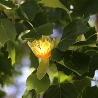 НазваЦветок тюльпанового деревание :: Alexander Varykhanov