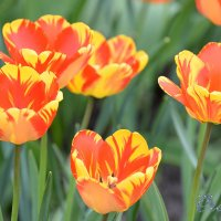 Яркая тюльпанная весна :: Тамара Бедай