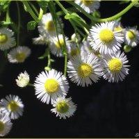 Цветы :: Georgy Kalyakin