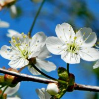 Вишня цветет! :: ирина