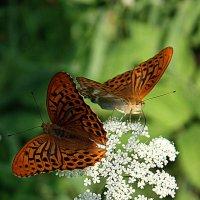 Бабочки :: Галина Козлова