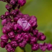 Сирень цветёт :: Николай Саржанов