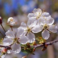 Вишнёвое цветение :: Алексей (GraAl)