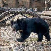 Чёрно-белый медвежонок в зоопарке :: Владимир Максимов