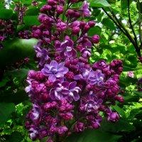 Роскошная гроздь :: Наталья Лакомова