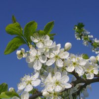 Цветение сливы :: lady v.ekaterina