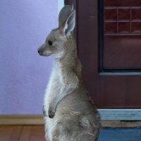 Детеныш серого кенгуру :: Владимир Шадрин