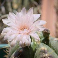 Мой кактус цветет :: Александр Деревяшкин