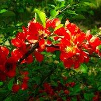 Буйное цветение японской айвы :: Милешкин Владимир Алексеевич