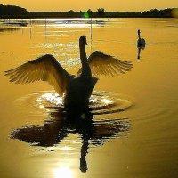Лебединое озеро :: олег свирский