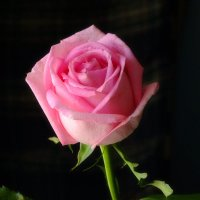 Роза для Любы :: Александр Сапунов