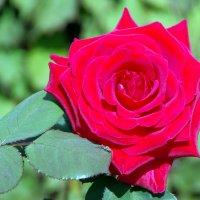 Утром роза раскрыла под ветром бутон, И запел соловей, в ее прелесть влюблен. Омар Хайям. :: Валерий Новиков