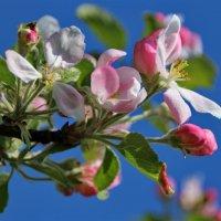 Изумителен цветущий яблоневый сад. :: Татьянка *