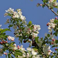 Яблоня в цвету :: Павел