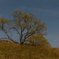 Одинокое дерево :: Максим