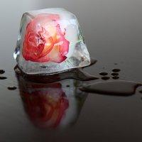 Роза во льду. :: Ирина Волкова
