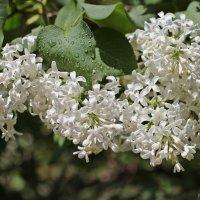 Белоснежный запах :: Лидия (naum.lidiya)
