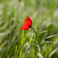 Полевой цветок :: Николай